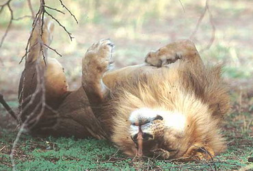 Jay Torborg photographing a sleeping lion