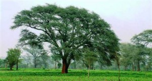 African Tree Automatically Fertilizes Crops