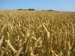 organic-wheat-500x375