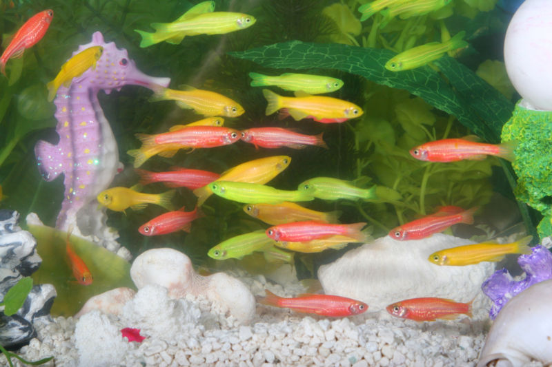 glofish genetically modified organisms Glowing fish - first genetically modified organism like other genetically modified organisms, the glofish was merely an experiment, but it soon grew to prominence on the ornamental fish market (a market that sells fish based on appearance.